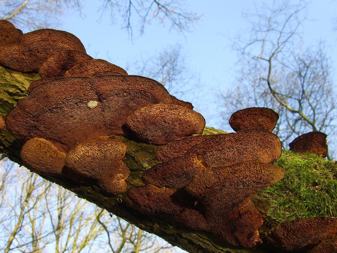62 Brown Moss fungi